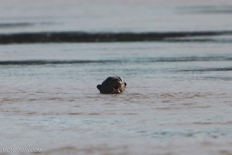Giant Amazon River Otter [brazil_1231]
