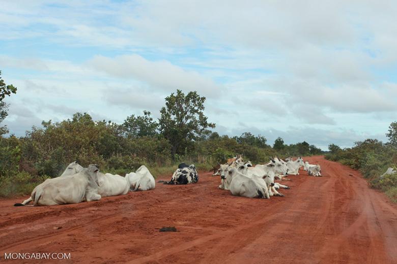 Cattle on an Amazon road [brazil_1233]