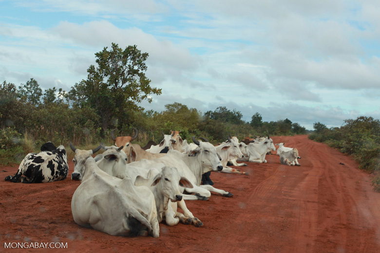 Cattle on an Amazon road