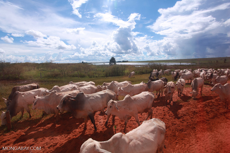 Herd of cattle in the Amazon [brazil_1250]