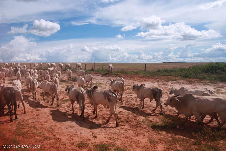 Herd of cattle in the Amazon [brazil_1252]