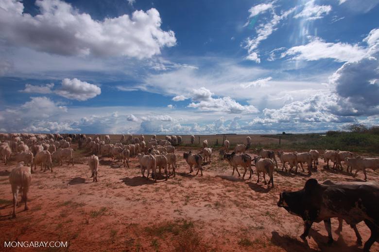 Herd of cattle in the Amazon [brazil_1257]