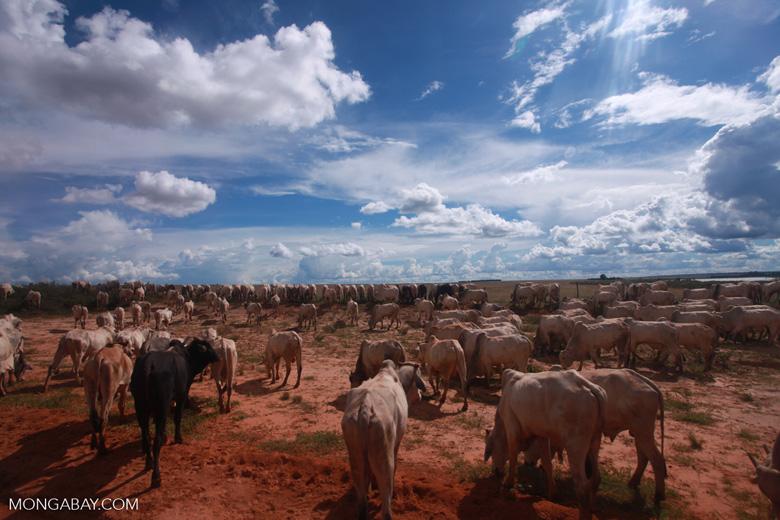 Herd of cattle in the Amazon [brazil_1258]