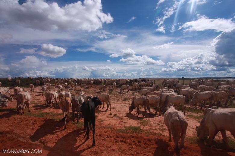 Herd of cattle in the Amazon [brazil_1259]