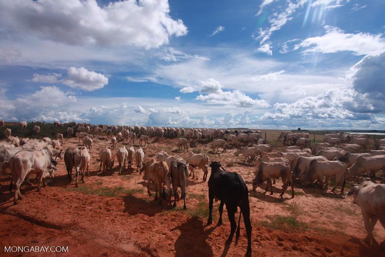 Herd of cattle in the Amazon [brazil_1260]