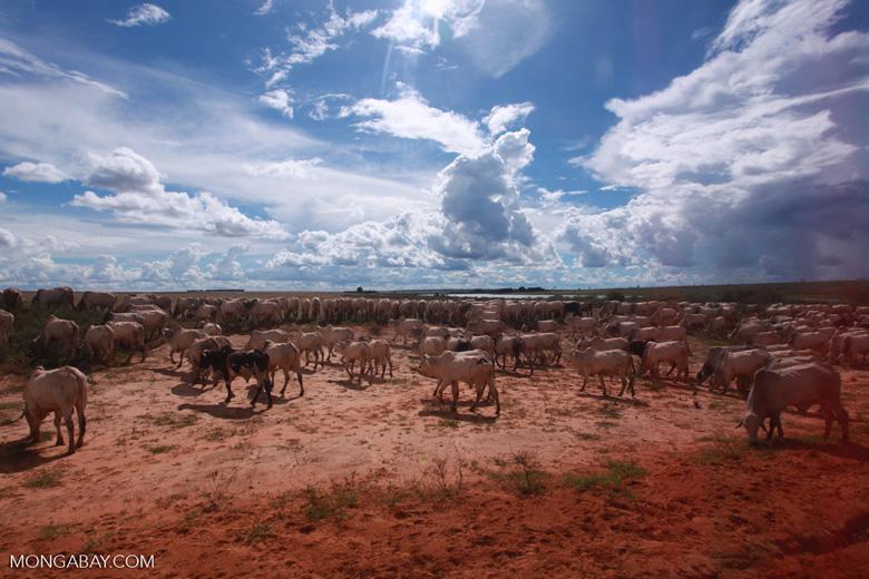Herd of cattle in the Amazon [brazil_1263]