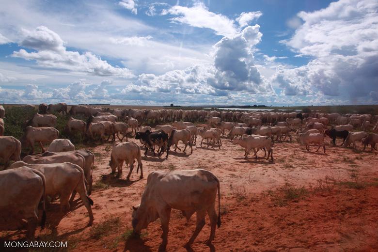 Herd of cattle in the Amazon [brazil_1265]