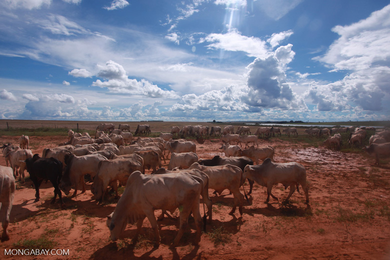 Herd of cattle in the Amazon [brazil_1268]