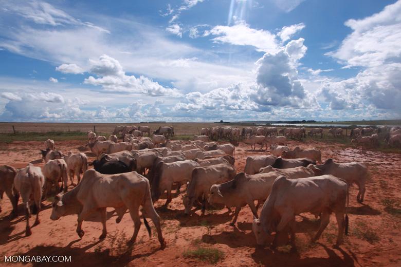 Herd of cattle in the Amazon [brazil_1269]