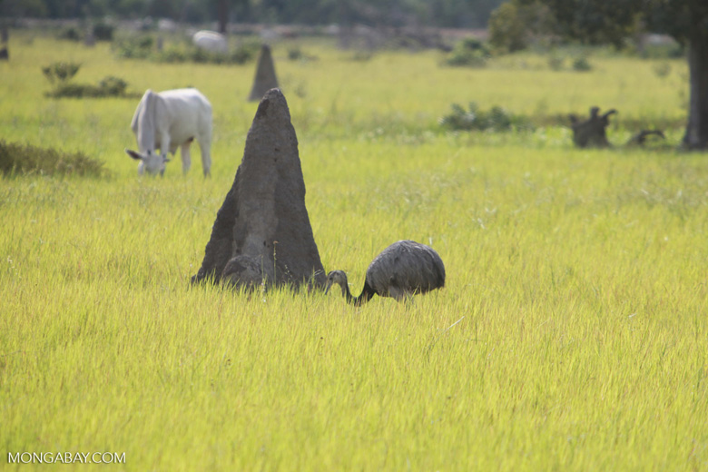Greater Rhea (Rhea americana), cattle, and terminte mounds in the Pantanal [brazil_1280]