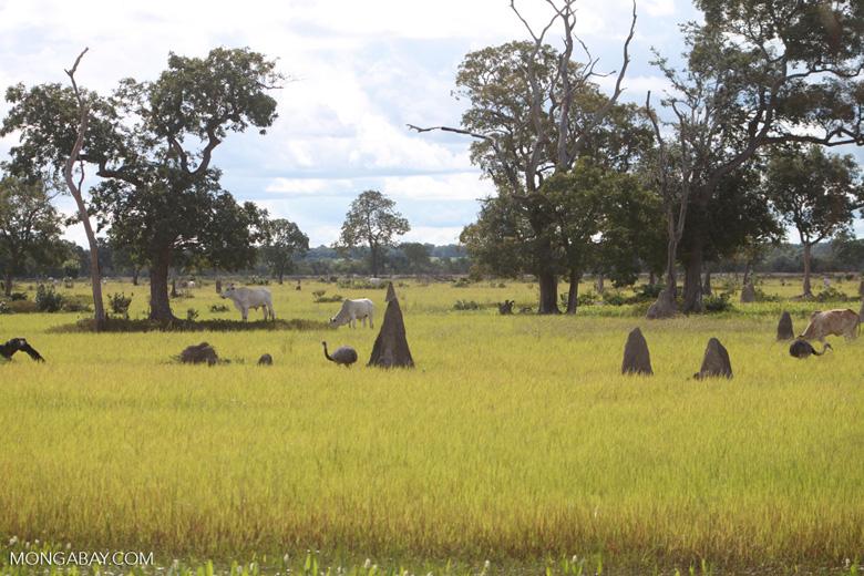 Greater Rhea (Rhea americana), cattle, and terminte mounds in the Pantanal [brazil_1282]