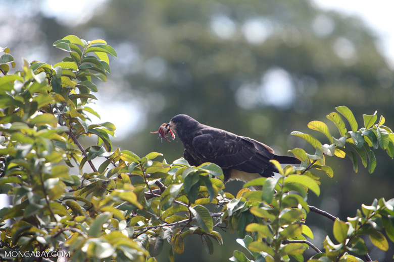 Female Snail Kite (Rostrhamus sociabilis) eating a crab
