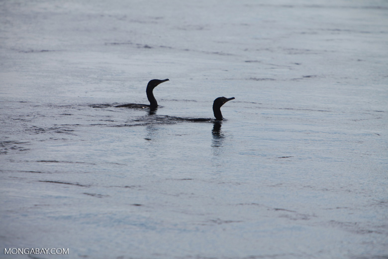 Cormorants in a river [brazil_1296]