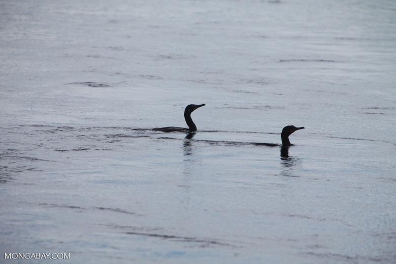 Cormorants in a river