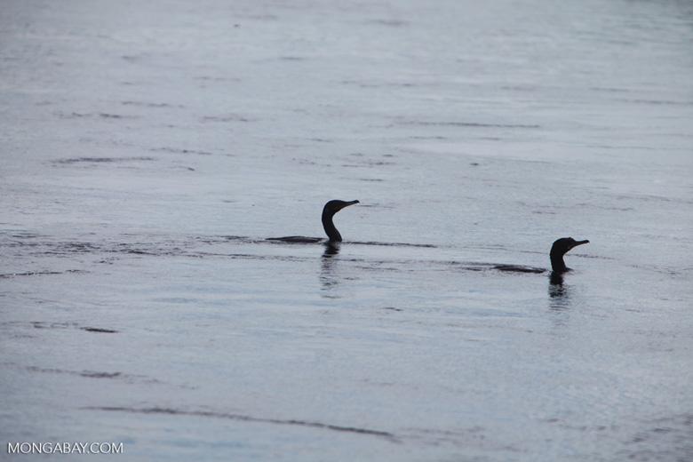 Cormorants in a river [brazil_1298]