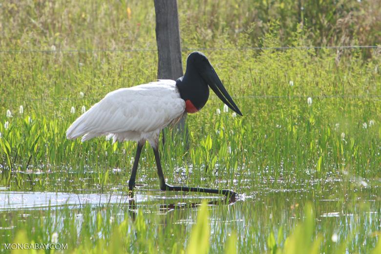 Jabiru stork (Jabiru mycteria) [brazil_1305]