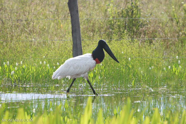 Jabiru stork (Jabiru mycteria) [brazil_1306]