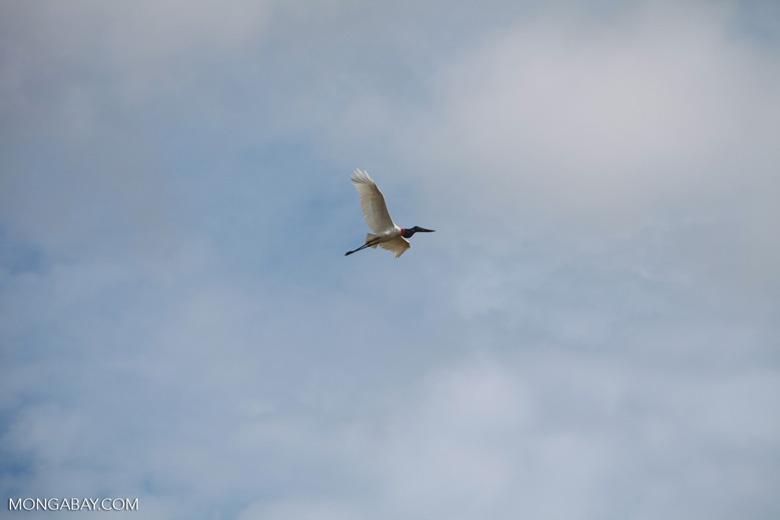 Jabiru stork (Jabiru mycteria) in flight [brazil_1322]