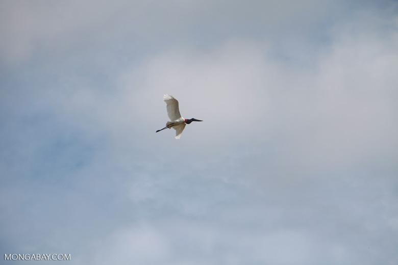 Jabiru stork (Jabiru mycteria) in flight [brazil_1323]