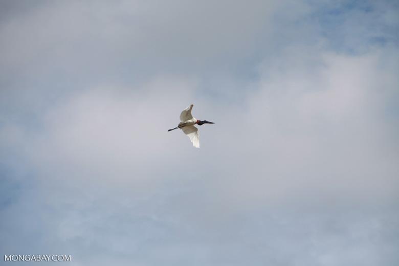Jabiru stork (Jabiru mycteria) in flight [brazil_1324]