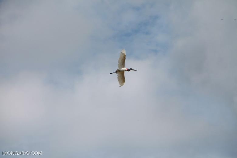 Jabiru stork (Jabiru mycteria) in flight [brazil_1325]
