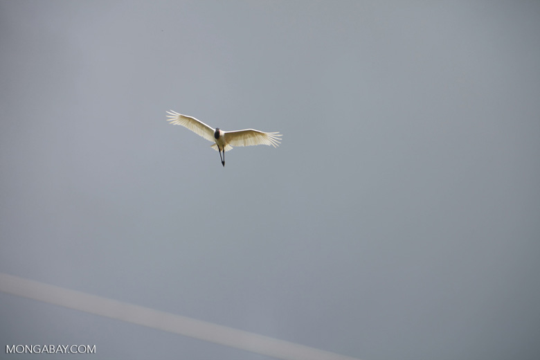 Jabiru stork (Jabiru mycteria) in flight [brazil_1326]