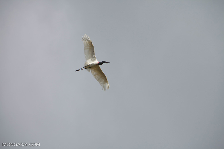 Jabiru stork (Jabiru mycteria) in flight [brazil_1327]