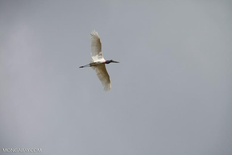 Jabiru stork (Jabiru mycteria) in flight [brazil_1328]