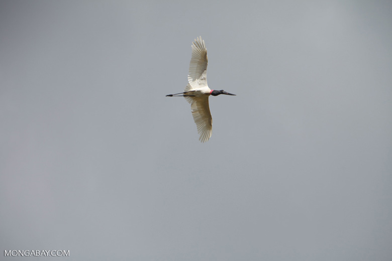 Jabiru stork (Jabiru mycteria) in flight [brazil_1329]