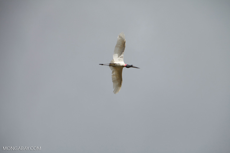 Jabiru stork (Jabiru mycteria) in flight [brazil_1330]
