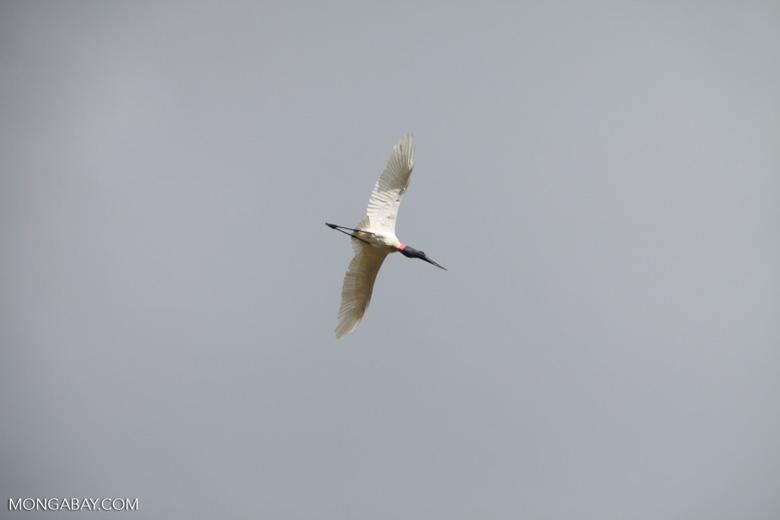 Jabiru stork (Jabiru mycteria) in flight [brazil_1331]