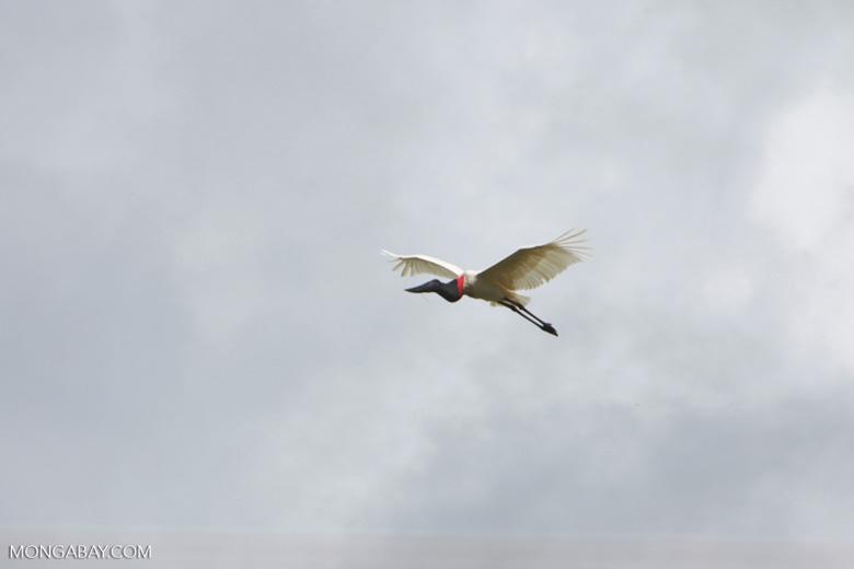 Jabiru stork (Jabiru mycteria) in flight [brazil_1335]