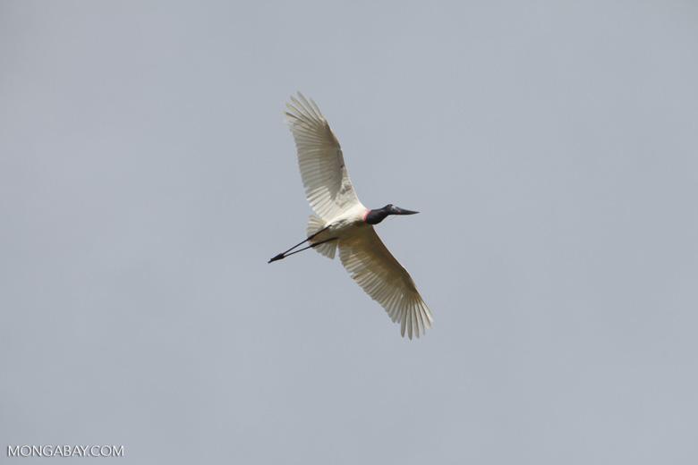 Jabiru stork (Jabiru mycteria) in flight [brazil_1337]