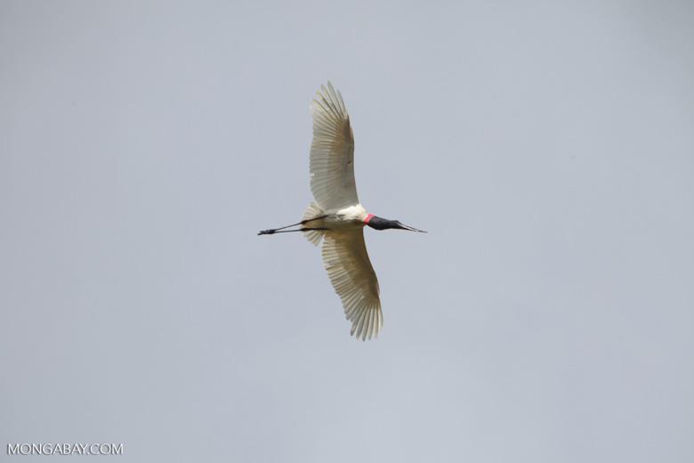 Jabiru stork (Jabiru mycteria) in flight [brazil_1338]