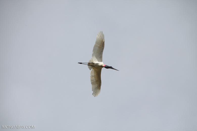 Jabiru stork (Jabiru mycteria) in flight [brazil_1340]