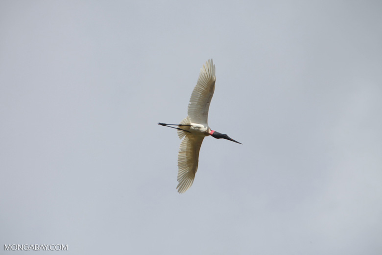 Jabiru stork (Jabiru mycteria) in flight [brazil_1341]