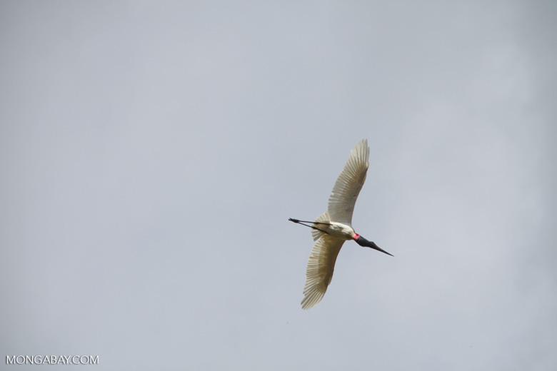 Jabiru stork (Jabiru mycteria) in flight [brazil_1342]