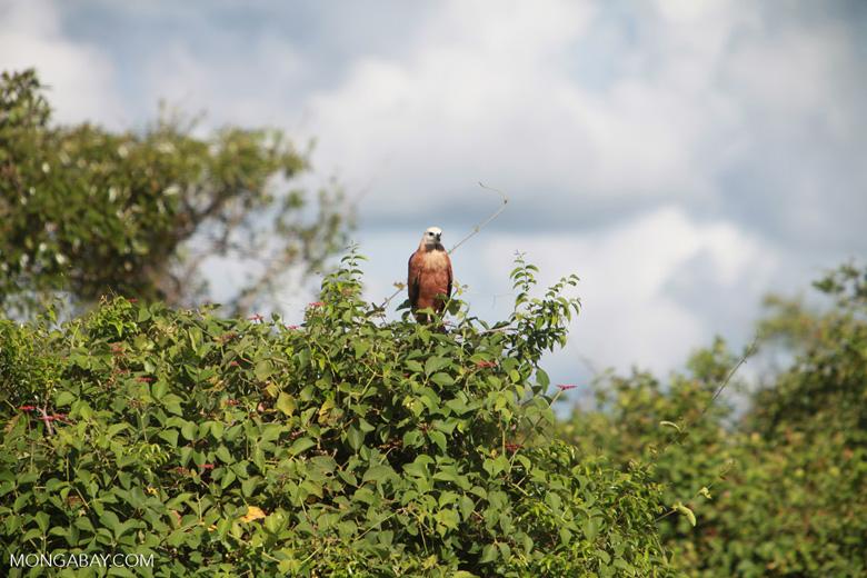 Black-collared Hawk (Busarellus nigricollis)  [brazil_1352]