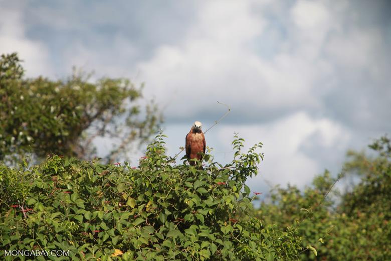 Black-collared Hawk (Busarellus nigricollis)  [brazil_1355]
