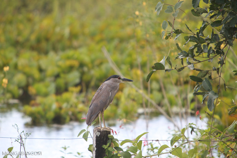 Black-crowned Night Heron (Nycticorax nycticorax) [brazil_1357]