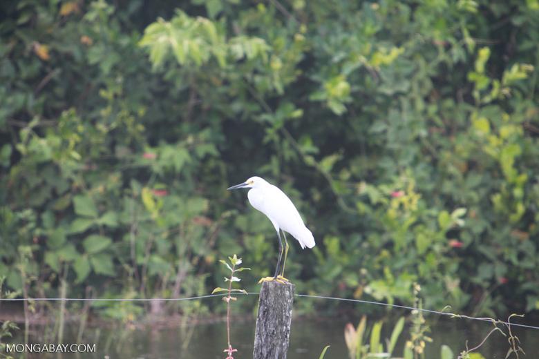 Snowy Egret (Egretta thula) [brazil_1358]
