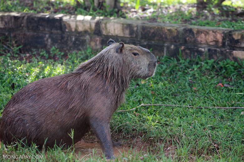 Capybara (Hydrochoerus hydrochaeris) [brazil_1369]