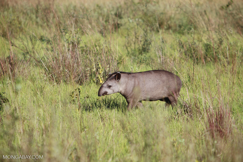 South American Tapir (Tapirus terrestris) [juvenile]