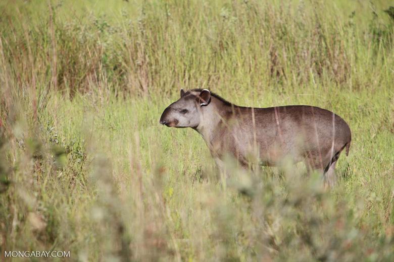 South American Tapir (Tapirus terrestris) [juvenile] [brazil_1377]