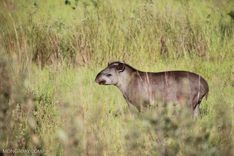 Lowland Tapir (Tapirus terrestris) [juvenile] [brazil_1379]