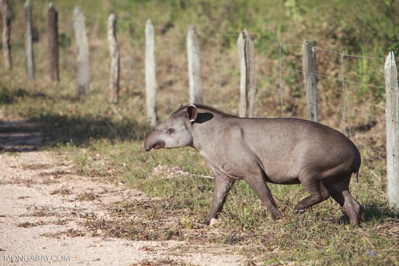 Lowland Tapir (Tapirus terrestris) [juvenile] [brazil_1382]