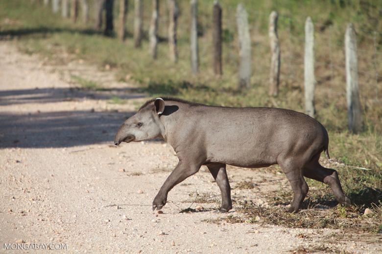 South American Tapir (Tapirus terrestris) [juvenile] [brazil_1383]