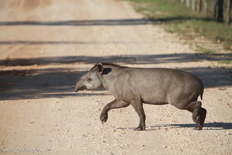 Lowland Tapir (Tapirus terrestris) crossing a road in the Pantanal
