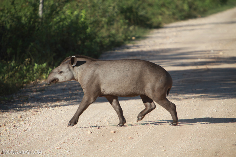 South American Tapir (Tapirus terrestris) crossing a road in the Pantanal