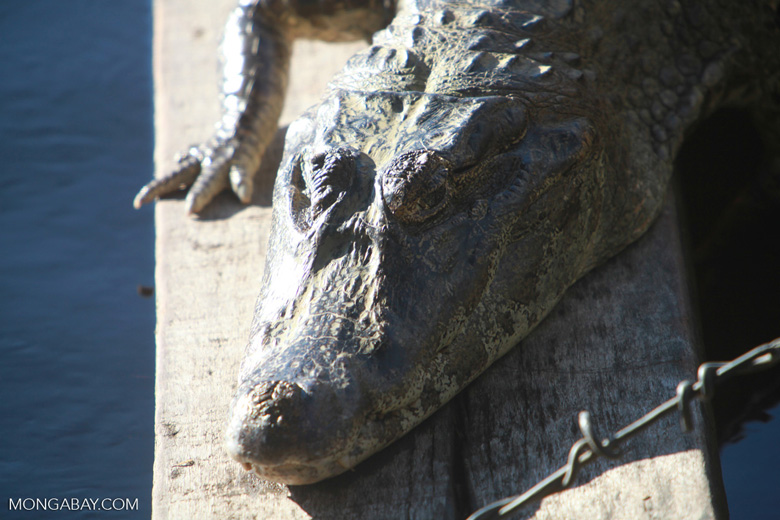 Black caiman (Melanosuchus niger)  [brazil_1393]